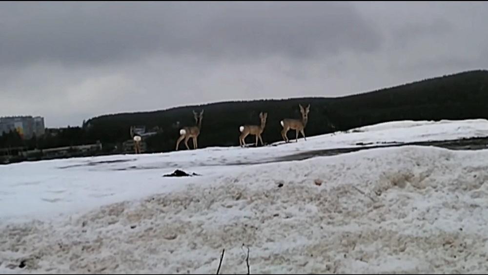 Дикие животные на Южном Урале начали выходить в города и села